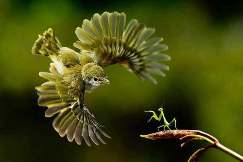 Bird vs Mantis - the drama of nature