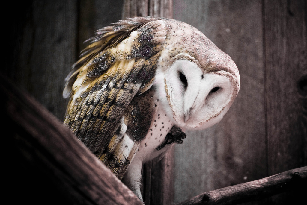 Barn Owl (by Brooke Pennington)