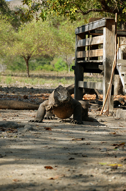 Komodo Dragon on Flickr.