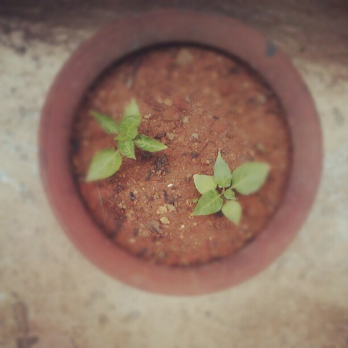 The pot with tulsi leaves. (Taken with Instagram)