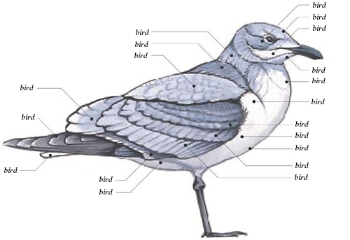 ilovecharts:  Definitive Bird Anatomy