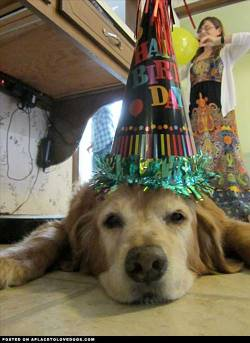 Submitted by Alan P: Picture of our golden at his BD party, he passed the next day of cancer. We really loved him and miss him dearly