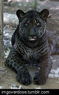 imgoverdose:  A Jaglion, a very rare Jaguar Lion hybrid.more awesome here