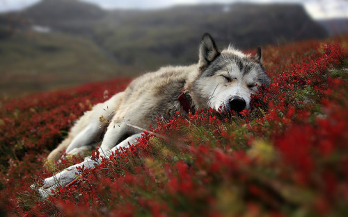slaying:  wolf_resting by DavidSpencer.ca on Flickr.