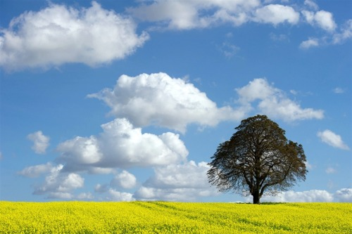 A chestnut tree on a yellow blossoming field is seen near Jacobsdorf, Germany.  (Photo: Patrick Pleul / EPA via NBC News)