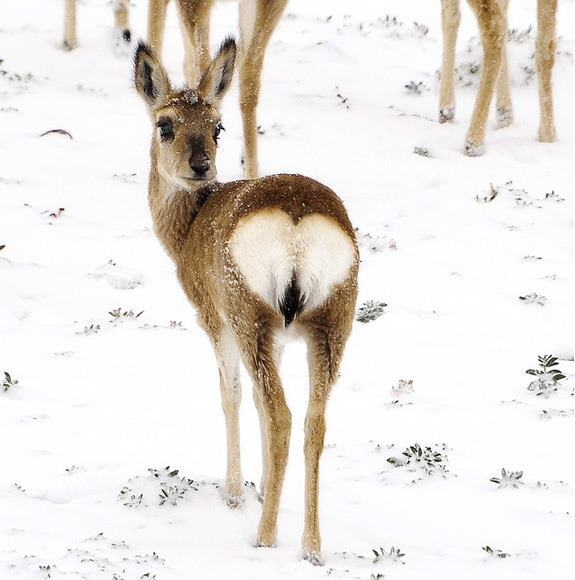 technohell:  THIS DEER HAS A CUTE HEART-BUTT