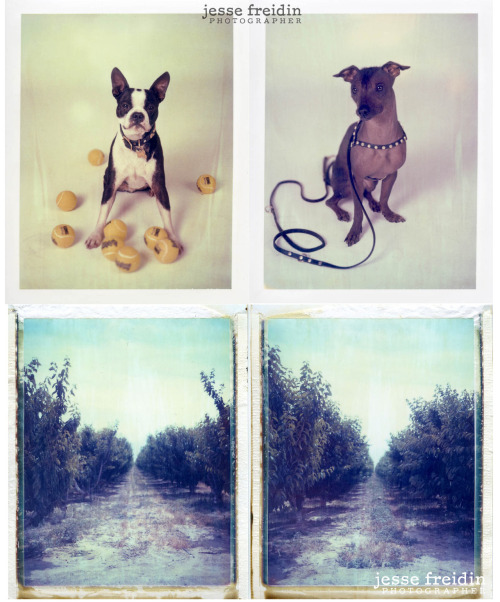 Here's a selection of Polaroids (all expired 66) I'm presenting to Polaroid Corp. for exhibition in their New York headquarters. A fair representation of my favorite subject matter, favorite film, favorite tones.