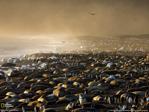 anotherimages:  Elephant Seals and King Penguins.  An Image from National Geographic.
