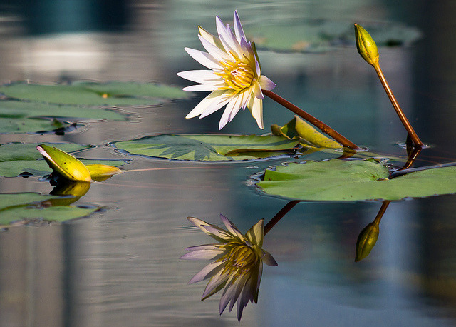 Water Lily by Marc Rauw. on Flickr.