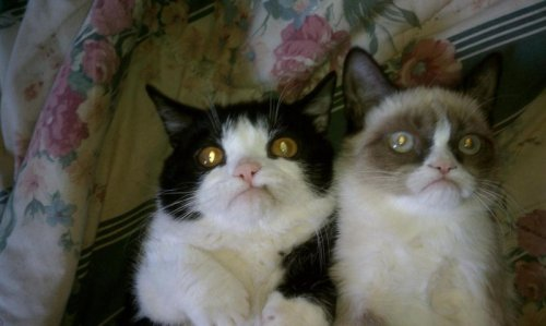 Grumpy Cat Has A Brother And his name is derp cat.