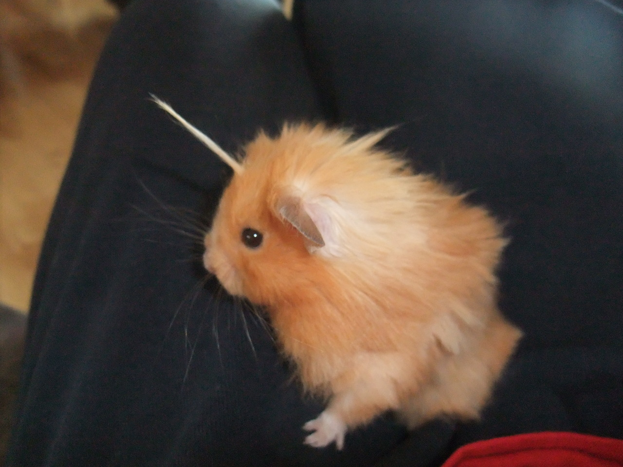 "consulting-idjits-in-the-tardis:   My hamster is a mix of several different breeds. As a result he has patches on his body where his hair grows longer than than the rest, and to keep him comfortable we give him regular ""haircuts"". But one oddity we never change is the long strand of hair that grows from his forehead. It's just a single long tuff of fur. All we have to do is give it a little spin and he instantly becomes a fabulous unicorn.  this is the cutest thing i have seen in my entire fucking life"