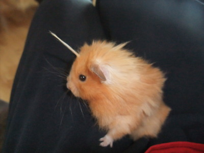 "barackfuckingobama:   anywigwilldo:  My hamster is a mix of several different breeds. As a result he has patches on his body where his hair grows longer than than the rest, and to keep him comfortable we give him regular ""haircuts"". But one oddity we never change is the long strand of hair that grows from his forehead. It's just a single long tuff of fur. All we have to do is give it a little spin and he instantly becomes a fabulous unicorn.   ….Yes. Good.  I like unicorn hamster :3 Oh hey, if they can have puppy sized elephants then why not hamster sized unicorns o..o"