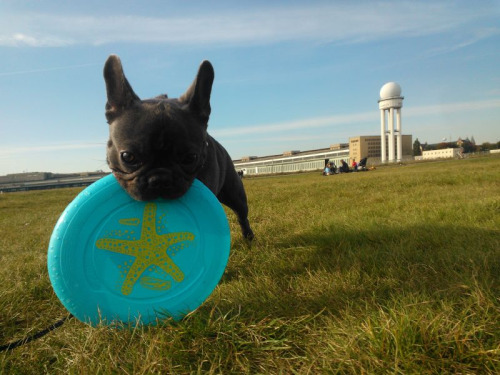 Dog + Tempelhof + Frisbee = FUN
