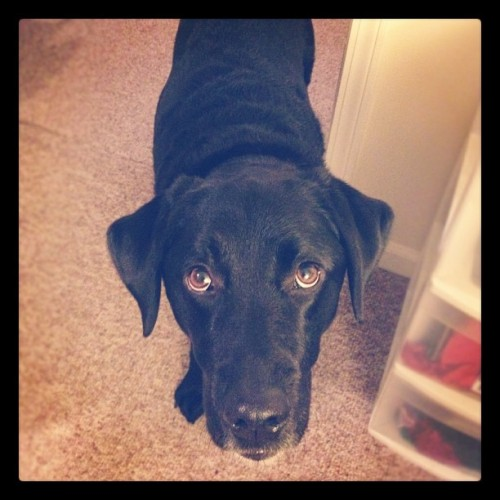 Hello pup. #blacklab #lab #dog  (Taken with Instagram)