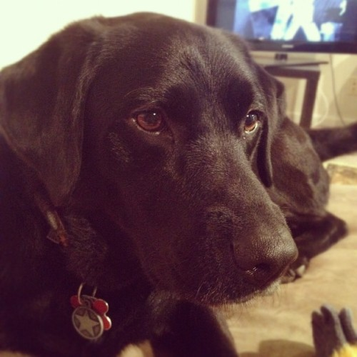 Bella. #blacklab #lab #dog  (Taken with Instagram)