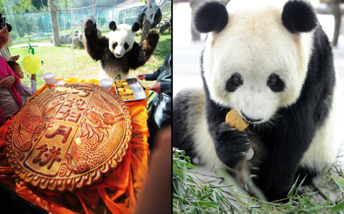 butterfly-foal:  theanimalblog:  Left: A giant panda named Qing Feng looks at a big moon cake at Nanshan Zoo. Right: A panda eats a specially-baked moon cake at Suzhou Taihu National Wetland Park to mark China's traditional Mid-Autumn Festival.  Picture: Xinhua /Landov / Barcroft Media  the panda is me