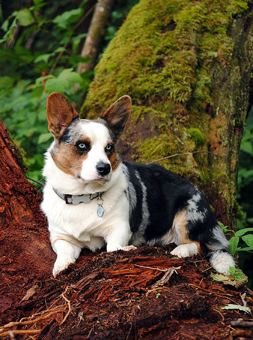 Pacific Northwest Cardigan Corgi… Simon says, hmmm, there's a squirrel over there!