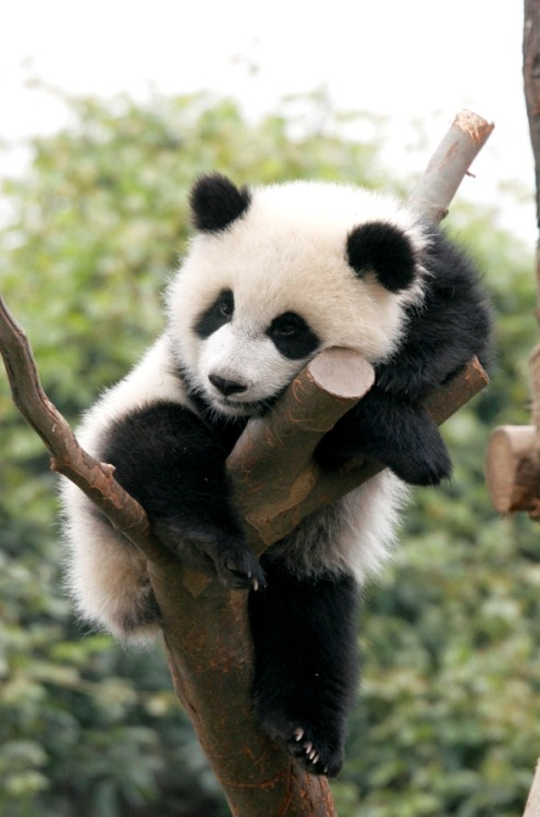 earth-song:  Baby Panda on treeby ~eight-eight