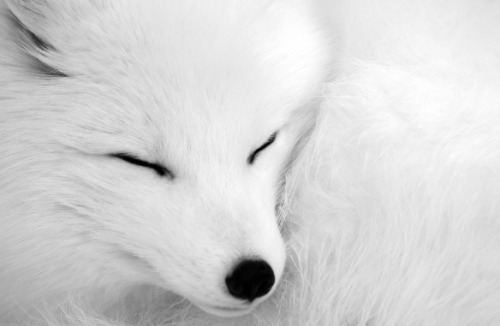 wild-heartedx:  Arctic fox ( Alain Turgeon)