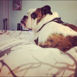 Over my shoulder… #bulldog #mack #bedtime #instagram (Taken with Instagram)