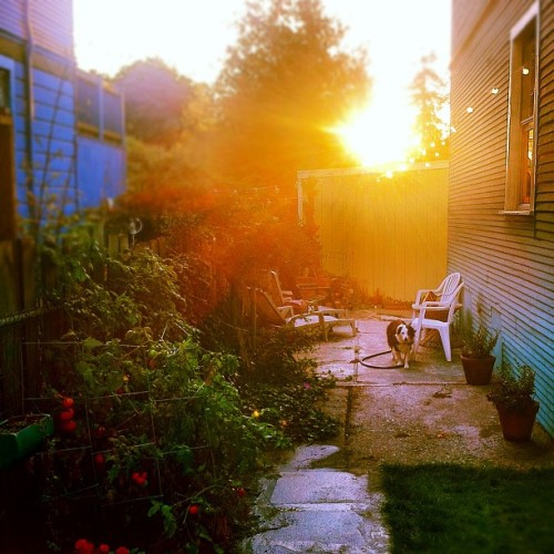 Sunset in the backyard ☀🍃🌻 What a beautiful day in the Bay | #sunset #berkeley #igerssf #garden #plants #piperthedog #iphoneography #iphone4 (Taken with Instagram)