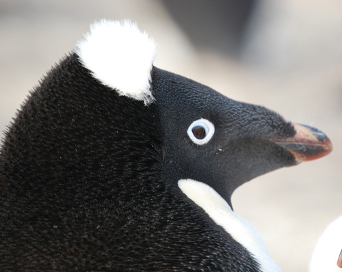 thepenguinblog:  Penguin hair like a sir.