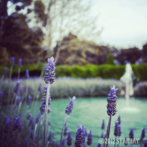 Lavender in the Ashcombe Maze & Lavender Gardens.  #flowers #lavender #garden #purple #spring #fountain  (Taken with Instagram)