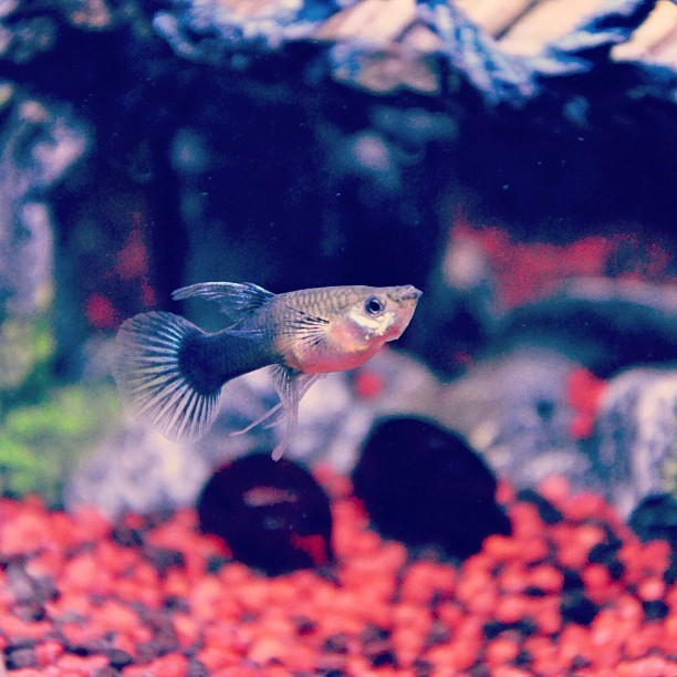 Female Guppy. (Taken with Instagram)