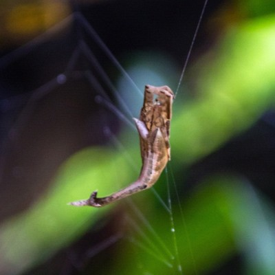 #Arachnura, the scorpion-tailed #spider #spiderweb #nature #igmacro  (Taken with Instagram)