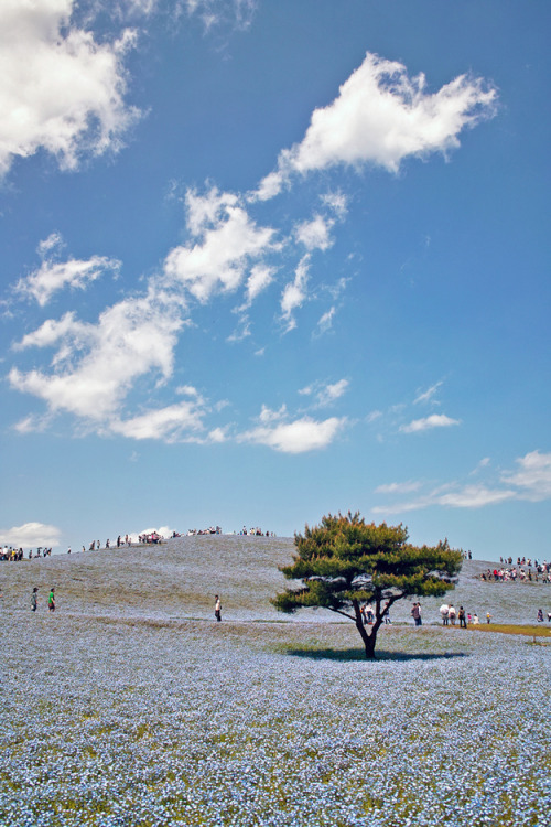 "This Is Cool: Japanese Park Matches Flowers To Sky. The Hitachi Seaside Park in Japan mixes the sky and earth to create a blended horizon. The blooming period is called ""Nemophilia Harmony,"" after the flowers' blue hue. Click here for more photos. via"