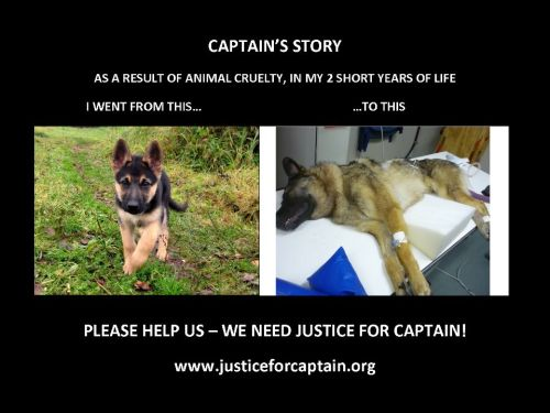"Captain was a 2-year-old German Shepherd dog who was discovered on July 18, 2012 wrapped in a bloody sheet and left in a dumpster in Vancouver, British Columbia, Canada. When Captain was found he was emaciated, and had been cut, stabbed, and brutally beaten (to the point of being rendered quadriplegic and with brain hemorrhaging). Despite desperate efforts to save him, Captain passe…d away from cardiac arrest the day after being rescued from the dumpster.Captain's current ""owner"" is suspected in Captain's death, but although the BC SPCA has recommended charges in Captain's death, no person has yet been charged.Captain's story has saddened some, enraged others, and touched many. This petition is established for the purpose of ensuring that animal cruelty laws in BC and Canada are strong and that meaningful punishments are imposed on those who abuse or inflict cruelty on animals  Petition Facebook page"