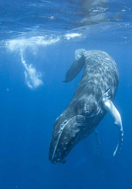 Whale babies fattening in Hawaii! http://whalemuseum.org =^.^= Beautiful birds & young Zebra <3 #GAIA earth-song:    10bullets: Huggy! by Sea Gal 18329 on Flickr.        Gaia so RICH with Life, awaken Humans to SAVE our precious planet!