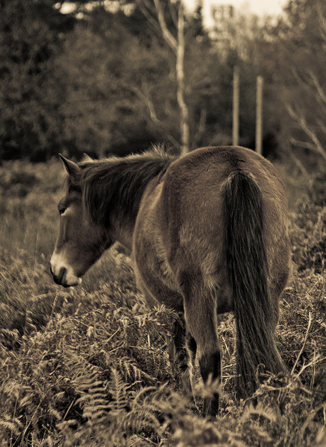 horsesornothing:  New Forest Pony by AliceL85 on Flickr.