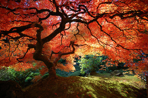 xandros-av:  Japanese Maple Tree