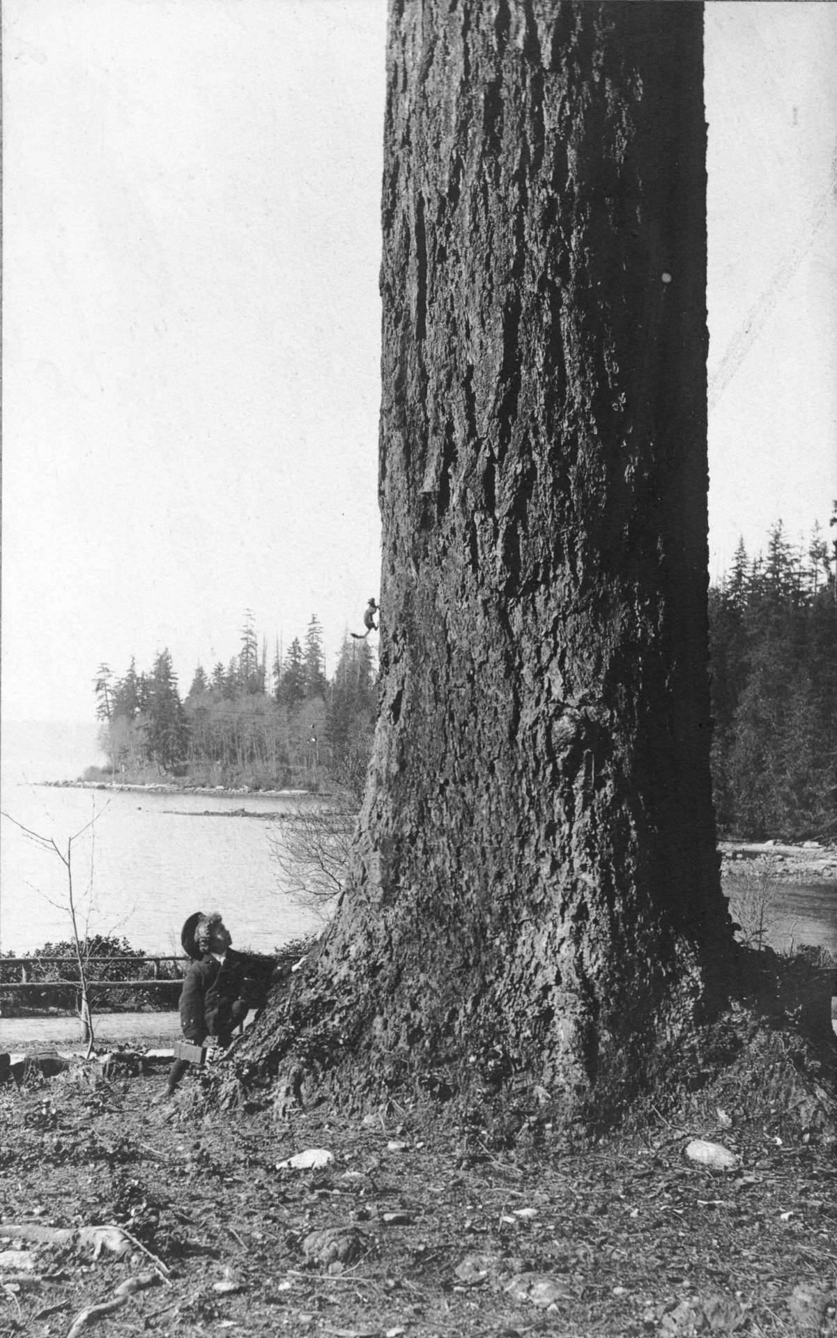Stanley Park, ca. 1902 Harold Timms watching a squirrel run up a tree. Note that it's probably a red squirrel; the grey squirrels that now overrun the park are descended from eight pairs of grey squirrels that were a gift from Central Park in New York in 1909. Source: Photo by Philip Timms, City of Vancouver Archives #677-664