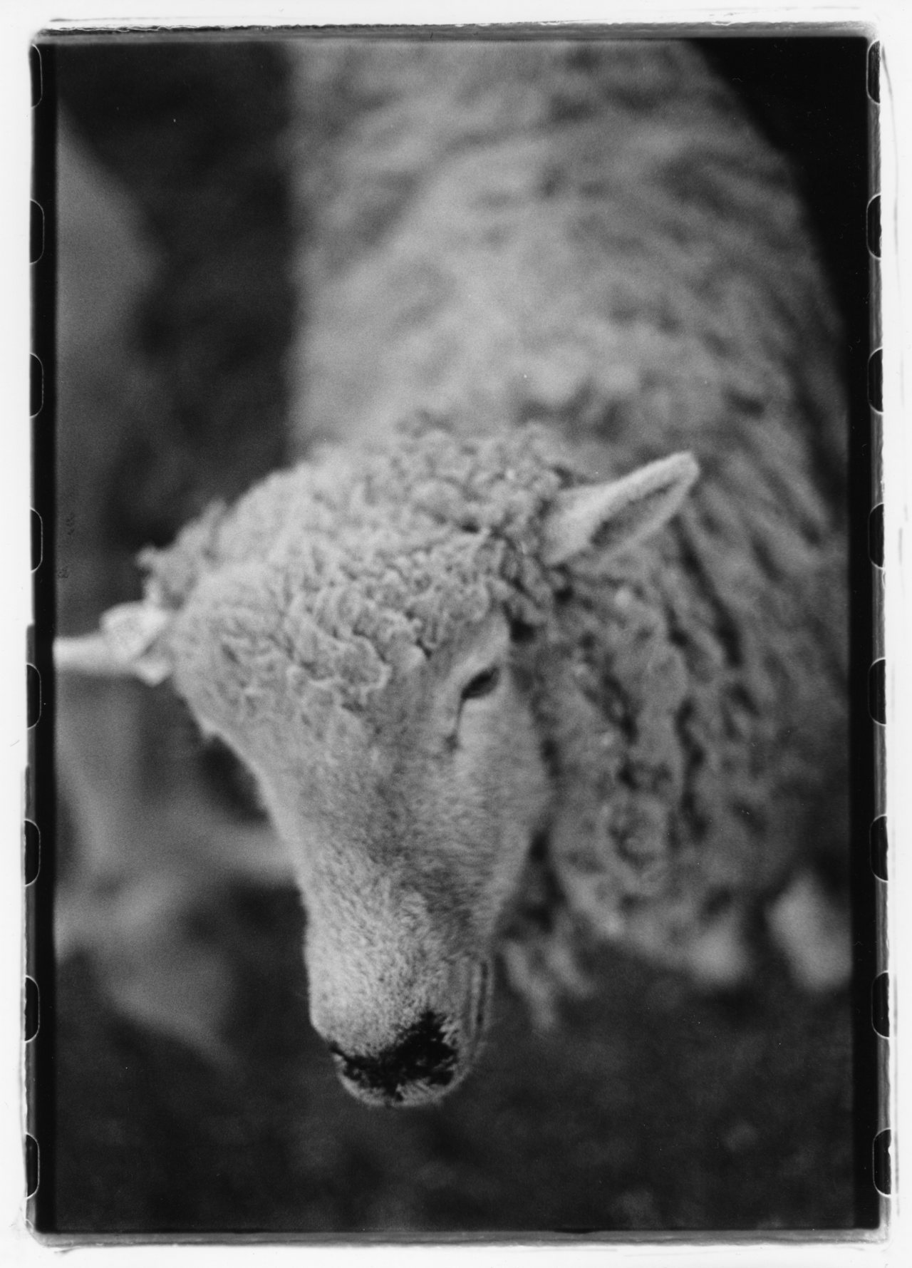 SHEEP 35mm b&w negative/print