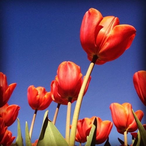 #floriade #tulips #flowers #orange  (Taken with Instagram at Floriade)