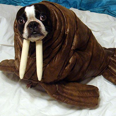 Ah dogs in fancy dress, my favourite. Behold the Rare, Wild Waldog via: Neatorama