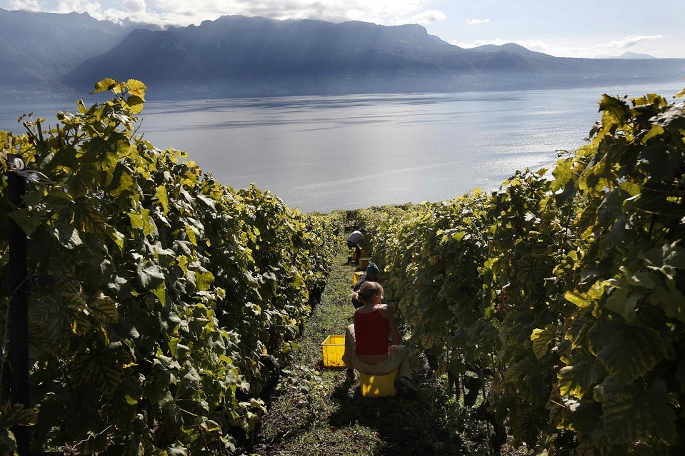 Workers, photographed with a fisheye lens, harvested grapes near Lake Léman in Chexbres, Switzerland, Tuesday, Oct. 2. The present terraces at the Lavaux Vineyard Terraces, a Unesco World Heritage site, date back to the 11th century when monasteries controlled the area. [Credit : Denis Balibouse/Reuters]