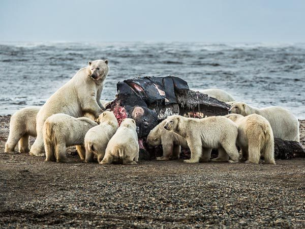 Enough to go around? | Polar bears dine on the severed head of a bowhead whale in Kaktovik, Alaska, on September 7. Left behind by traditional Inupiat hunters, whale remains this year attracted up to 80 bears a day to the village—a record, according to the Alaska Dispatch news site.- via National Geographic