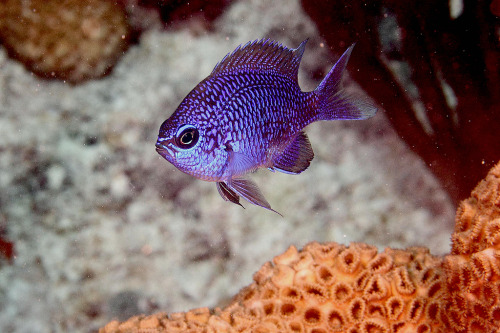Blue Chromis (Chromis cyanea) Kevin Bryant on Flickr