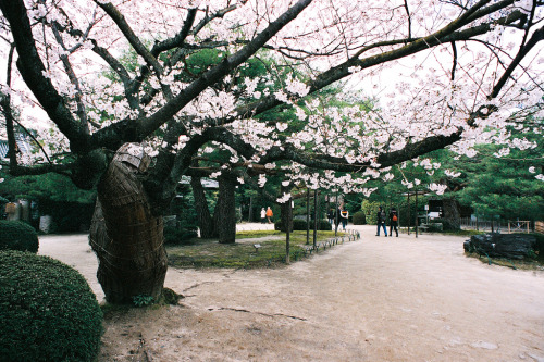 over-ture:  櫻花,平安神宮,京都,日本,Japan,Kyoto,Sakura (by AJ1008)