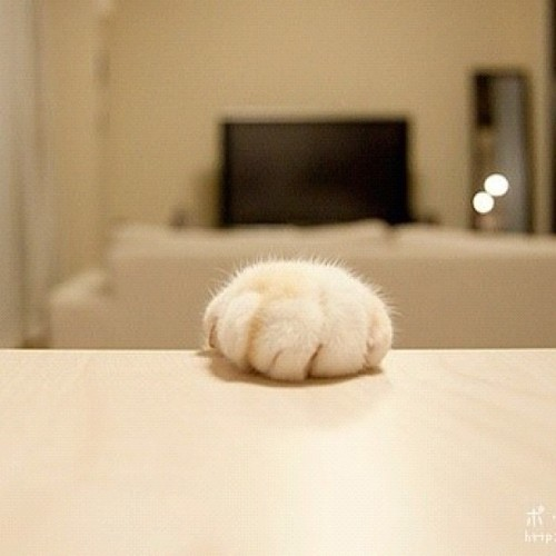 honeycustard:  #cat #cute #animal #foot  (使用Instagram拍摄)  Lol!