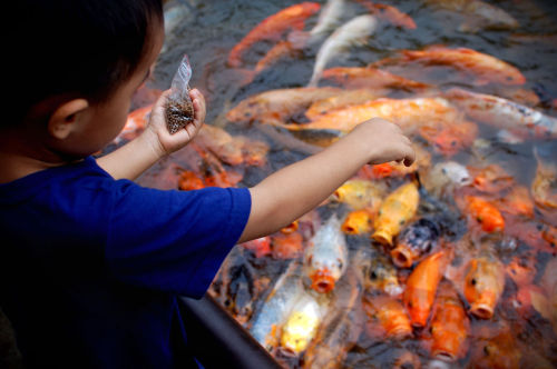 A small boy feeds what I'm assuming are koi fish that have grown fat and aggressive from  being fed by tourists. Seriously, I was scared to lean too far over the railing.