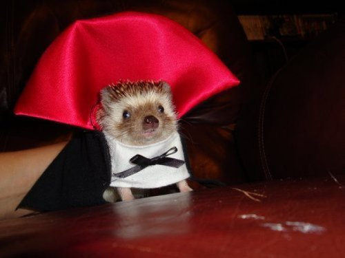 collegehumor:  Vampire Hedgehog He vants to suck your bloo- Actually, he just vants to snuggle.
