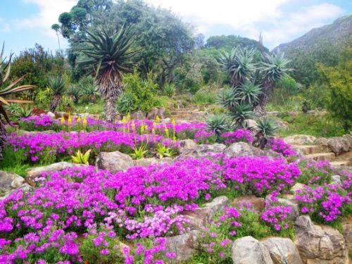 The awesome flower power of South Africa To describe the vast and sweeping scenery of lush green mountainsides, grand valley vistas and exquisite ocean views as breathtaking seems utterly inadequate. This is a landscape like no other I have experienced – diverse in plant species, rich in flora colour, unspoiled yet accessible, and packing a visual punch that is nothing short of jaw-droppingly gorgeous. I did not expect this. I knew South Africa flora would be impressive, after all, there are more plant species on this tip of Africa than in all of North America and the UK – more than 22,000 species at last count.