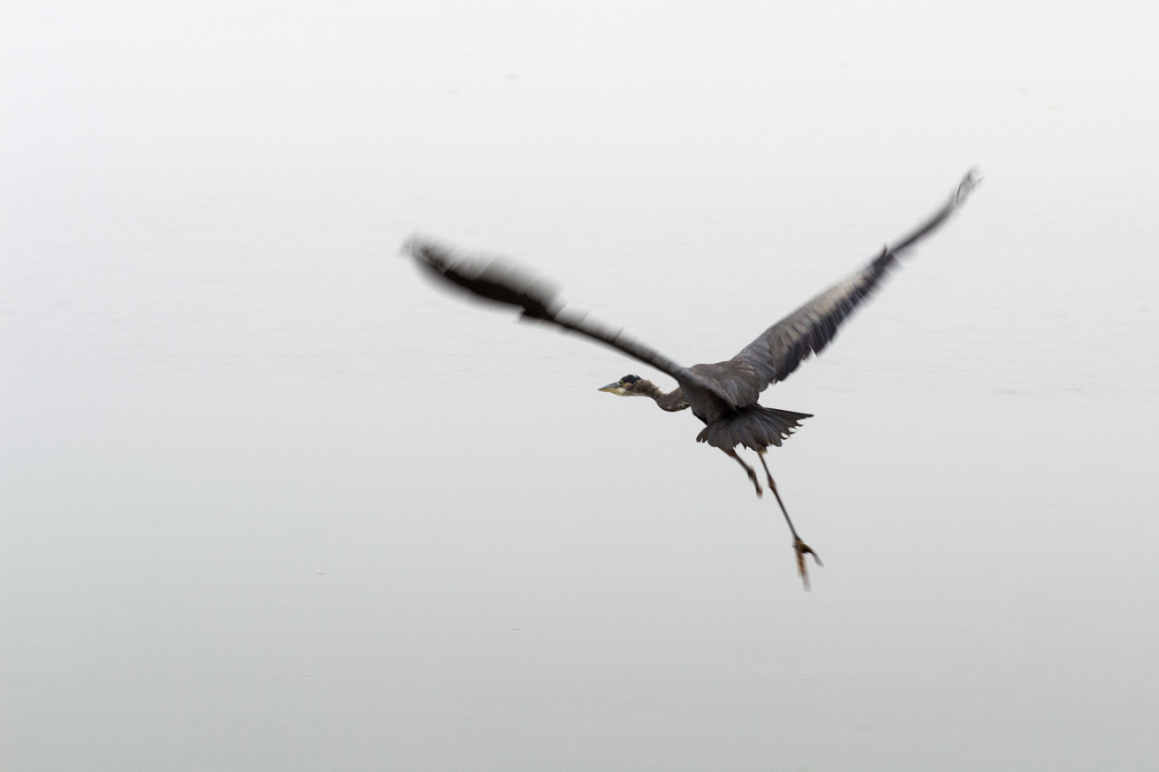 Bird Flight in Fog.