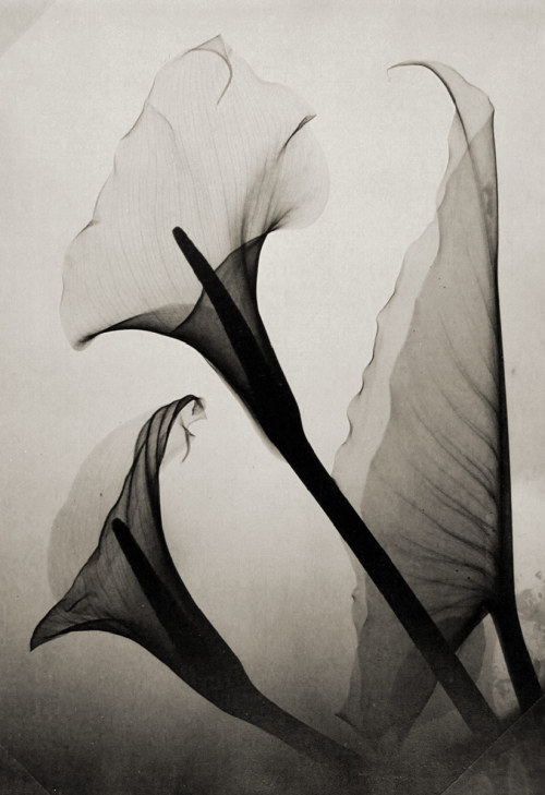 sicksin:  Untitled (Calla Lily X-Ray) by Thomas W. Louyle, 1930