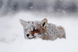 "magicalnaturetour:   ""FrozenFox -votes plz"" by Roeselien Raimond :)"