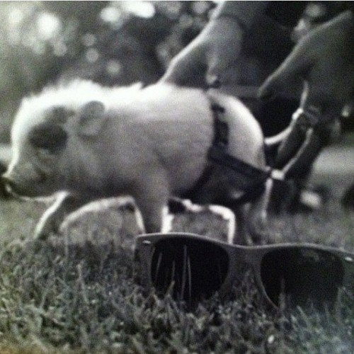 Remember our pet pig @tejbandook? RIP Piggles  (Pris avec Instagram)